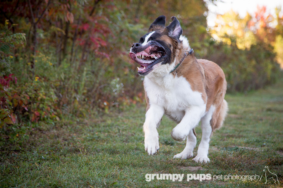 Great Dane Saint Bernard Mix Saint bernard slapping itself